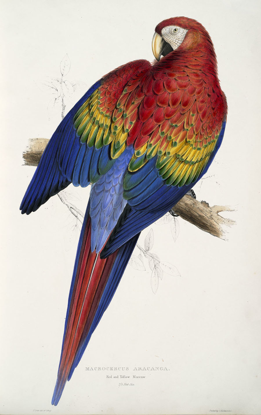 Macrocercus aracanga, Red and yellow maccaw