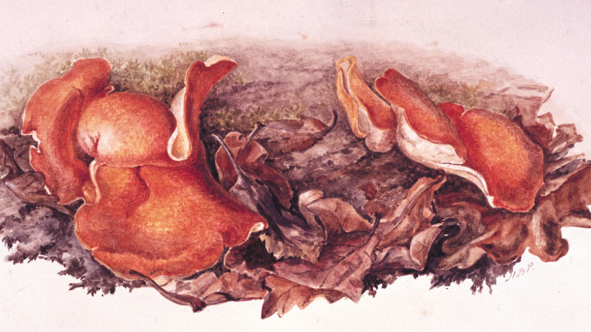 Study of orange fungi (Aleuria aurantia) growing amongst fallen leaves